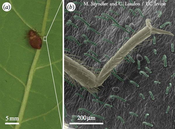 bed bug bean leaf trap