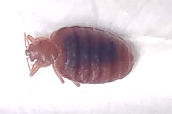 bed bug I found in new york hotel